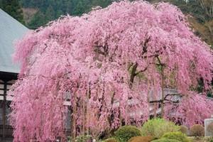 桜並木に一本桜!群馬・埼玉のおすすめ絶景桜リスト8【2017年】
